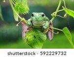 dumpy frog  tree frog   Shutterstock . vector #592229732