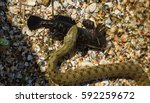 Small photo of Water Moccasin (Agkistrodon piscivorus) eating male Bullfrog (Rana catesbeiana). Snake caught prey. European runner caught sea fish goby. Snake eats fish caught
