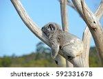 Australian Koala  Phascolarcto...