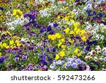 Background Of Mixed Pansies...