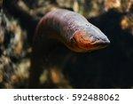 Sea Eel In Aquarium.