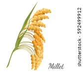 yellow millet isolated on white.... | Shutterstock .eps vector #592499912