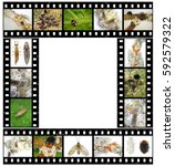 Small photo of Scale insects and their natural enemies, ladybugs (ladybirds) (Coccinellidae; Coleoptera) and lacewings (Hemerobiidae; Neuroptera). Biological control concept. Images created in film strip frames