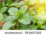 Peppermint  Leaf Green Plants...