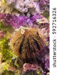 Small photo of Sea urchin. Brown sphere urchin (Mespilia) on the background of colorful stones.