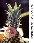 a decorated fresh pineapple | Shutterstock . vector #592721426