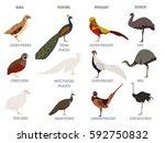 poultry farming. peafowl ... | Shutterstock .eps vector #592750832