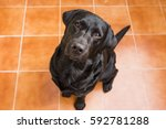 portrait of a black labrador... | Shutterstock . vector #592781288