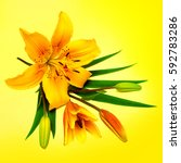 yellow lily flower with buds on ... | Shutterstock . vector #592783286