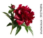 burgundy peony bud isolated on... | Shutterstock . vector #592794896