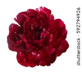 Burgundy Peony Flower Isolated...