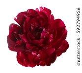 Burgundy Peony Flower Isolated...