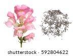 Pink Garden Snapdragon. Flower...
