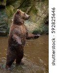 kamchatka brown bear  ursus... | Shutterstock . vector #592825646