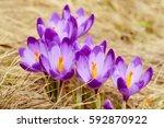 beautiful violet crocuses... | Shutterstock . vector #592870922
