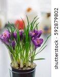 Purple Crocus Flowers In A Pot...