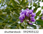 Texas Mountain Laurel Flower...