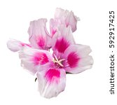 godetia flower isolated. a... | Shutterstock . vector #592917425