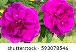 tea rose | Shutterstock . vector #593078546