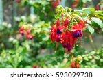 fuchsia magellanica flower ...   Shutterstock . vector #593099738