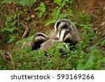 european badger  meles meles ... | Shutterstock . vector #593169266