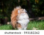 Red Norwegian Forest Cat In Th...