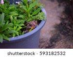 frog hide in the pot of grass... | Shutterstock . vector #593182532
