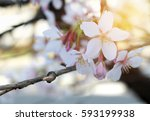 pink sakura or cherry blossoms... | Shutterstock . vector #593199938