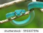 viper snake  sunda pit viper... | Shutterstock . vector #593337596