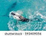 winter humpbacks   Shutterstock . vector #593409056