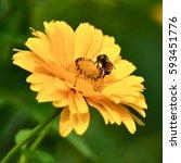 Honey Bee Feeding On Rudbeckia...