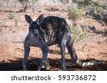 Broken Hill Australia  Kangaro...