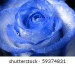 Blue Rose In Drops Of Water