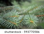 Close Up Of A Pine Tree Branch...