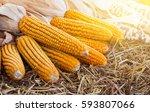 Corn Maize Cobs After...