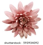 red flower chrysanthemum. ... | Shutterstock . vector #593934092