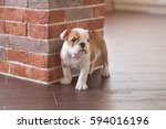 Stock photo cute nice spoony little puppy of english bull dog walking scary in empty flat on dalle tile close 594016196