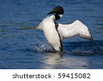 Common Loon Flaps His Wings As...