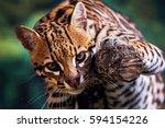 ocelot  leopardus pardalis  it... | Shutterstock . vector #594154226