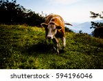 Small photo of Brown cow looking aggressive standing on green grass with Alpen mountains as a background.