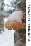 Birch Polypore With Snow