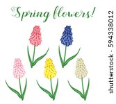 spring flowers. muscari set of... | Shutterstock .eps vector #594338012