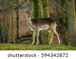 female deer in a beautiful... | Shutterstock . vector #594342872