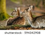 female fallow deers in a forest ... | Shutterstock . vector #594342908