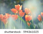 Lovely Tiny Orange Tulips In...