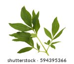 peony leaf isolated on white... | Shutterstock . vector #594395366