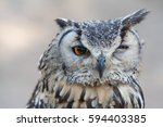 Stock photo awesome owl outdoor shot owl is typical species for many countries owl could be found also in zoo 594403385