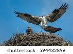 Osprey Feeding Its Young.