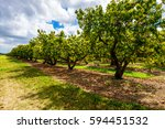 landscape view of a flowering... | Shutterstock . vector #594451532