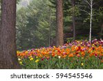 Tulips In Forest